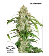 AutoWhite Widow – Dutch Passion