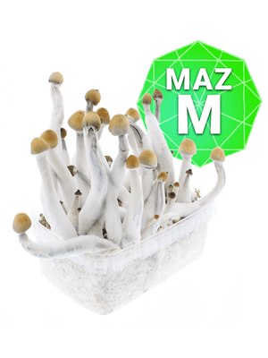 Mazatapec Zuchtpaket - Medium