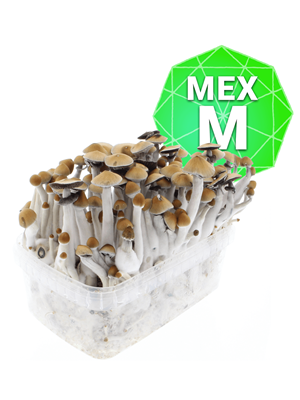 Mexican Zuchtpaket - Medium