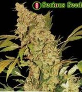 Serious Seeds Chronic